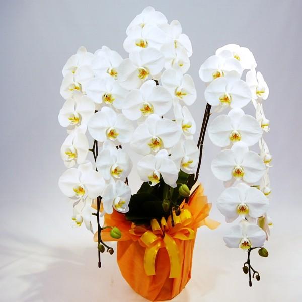 贈られたらキレイに育てたい!胡蝶蘭の育て方7つのポイント