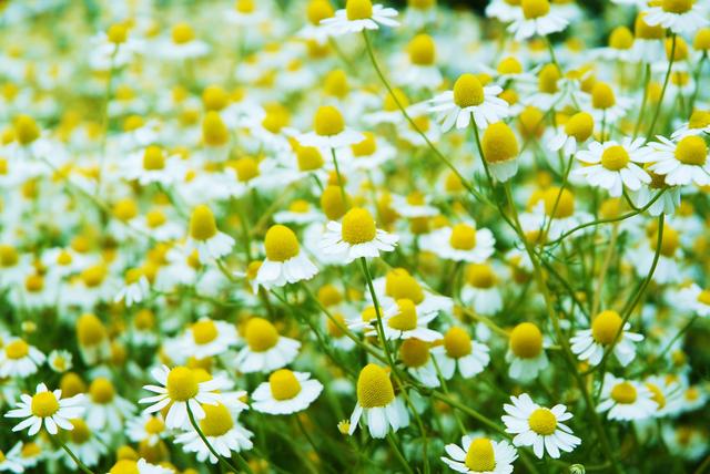 カモミールの花言葉と、ピッタリな贈り物の選び方7選