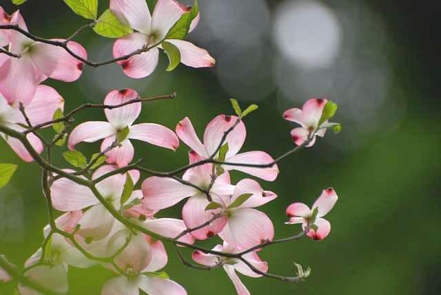 ハナミズキの花言葉を使ってメッセージを贈る7つの方法