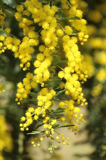 ミモザの花言葉とピッタリな贈り物の選び方7例