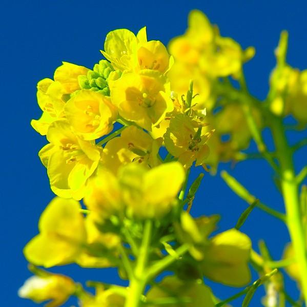 贈り物にひとひねり。菜の花の花言葉を使った7つのメッセージ