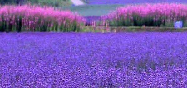 ラベンダーの花言葉と、ピッタリな贈り物の選び方7例