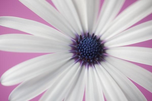 デイジーの花言葉と、ピッタリな贈り物の選び方7例