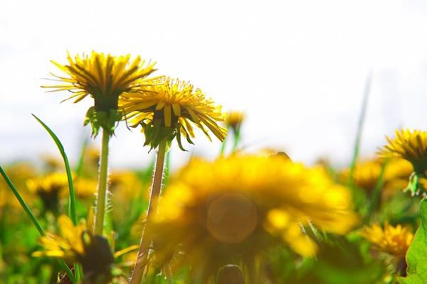 たんぽぽの花言葉を使ってメッセージを贈る7つの方法