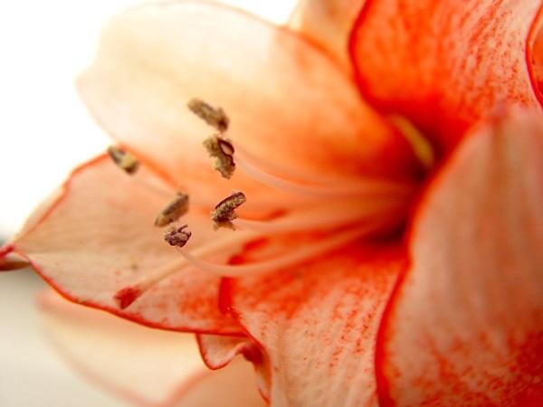 初心者でもキレイに咲かす!アマリリスの育て方7つのコツ