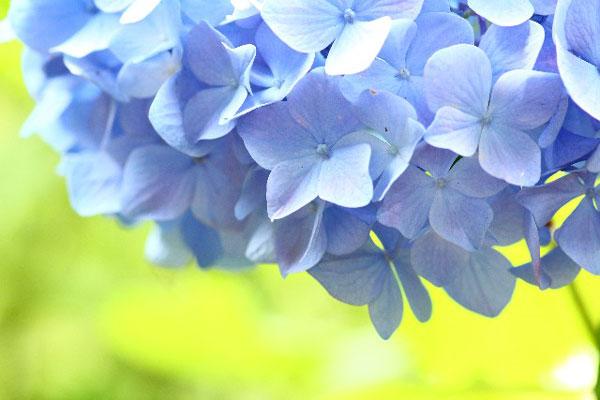 アジサイの育て方、花を長持ちさせるための7つのポイント