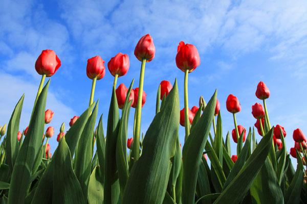 チューリップの花言葉を伝えて恋心をさりげなく知らせる7つの方法