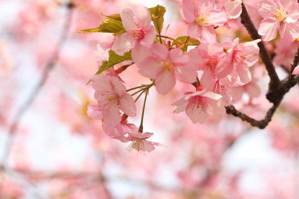 お花見の意義が一層高まる、知っておきたい9つの桜の花言葉