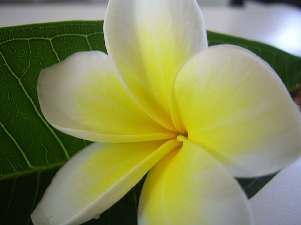 プルメリアに花言葉を添えて、相手に絶対喜ばれる9つの秘策