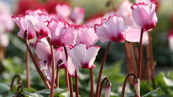 シクラメンの育て方、室内でキレイな花を咲かせる為の7つのコツ☆