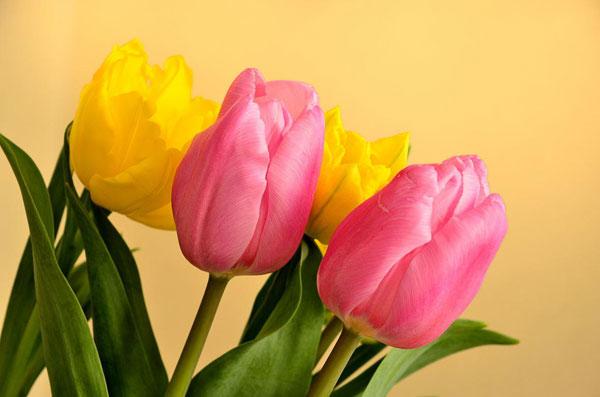 チューリップの花言葉を使って粋な告白をする5つの方法