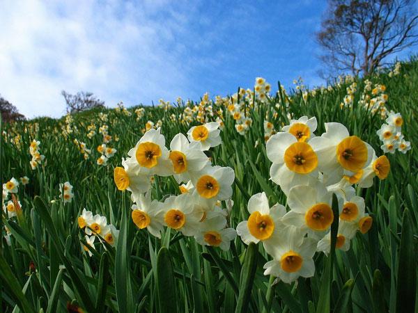 水仙の花言葉がプレゼントに向いていない7つの理由 水仙の花言葉がプレゼントに向いていない7つの理