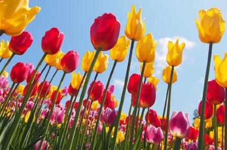 チューリップの育て方、来年も花を咲かせるためにやるべき7つの事