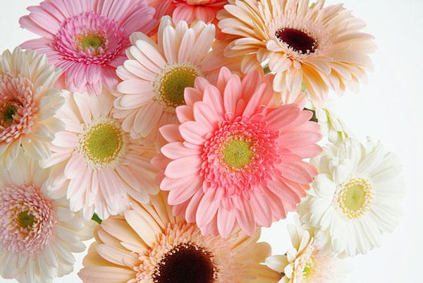 花言葉とガーベラの色で心身ともに超元気になる5つの理由