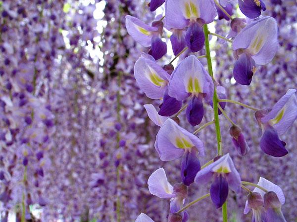 一度は訪れたい!藤の花の名所超おすすめスポット~全国7選