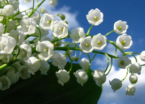 すずらんの花言葉が幸せを運んでくる7つの理由☆