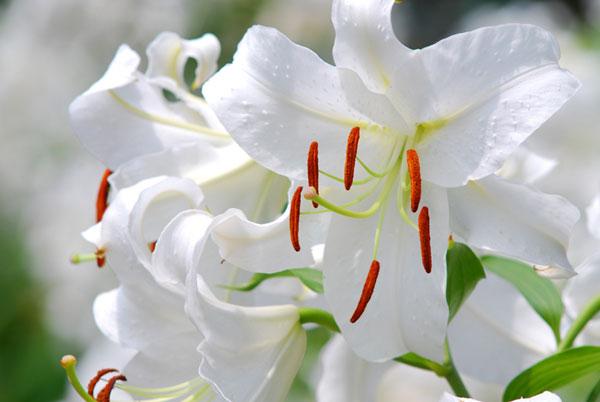 カサブランカの花をキレイなまま長持ちさせる7つのコツ☆