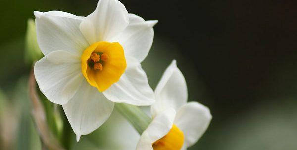 贈る前に知っておきたい水仙の花言葉、7つの意味