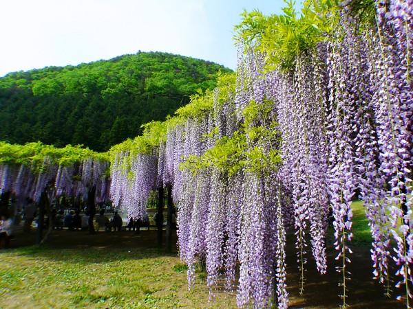 藤の花がきれいな名所、関西のおすすめスポット7選!
