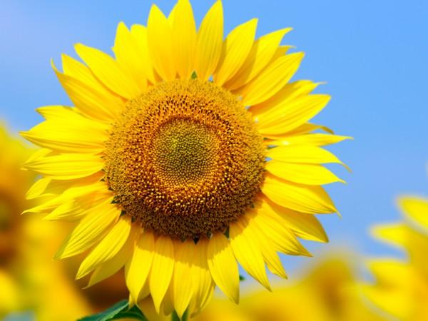 ひまわりの花言葉を贈って相手を超感動させる7つの方法