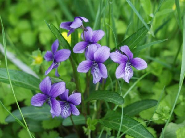「すみれ 花」の画像検索結果