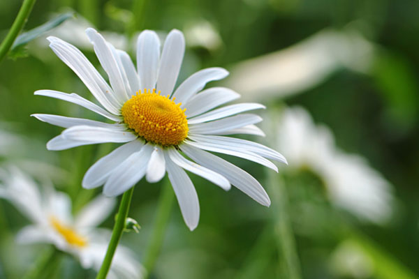 マーガレットの花言葉を使って秘めた思いを伝える7つの方法☆