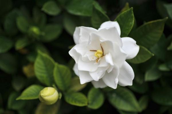 クチナシの花言葉が女性を誘う時にぴったりな7つの理由☆