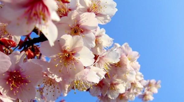 知っているとより美しく思える、桜の花言葉9選
