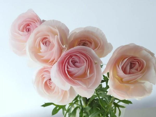 ラナンキュラスの花言葉が告白を応援してくれる7つの理由