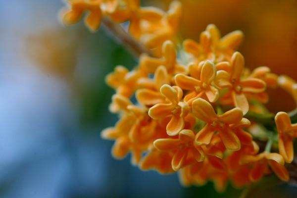 金木犀の花言葉が家のお庭に幸運をもたらす7つの理由☆