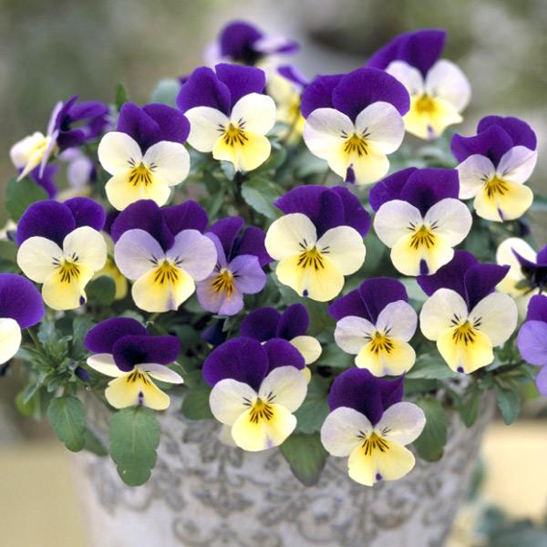 ビオラの花言葉を使って大好きな人に告白する7つの方法