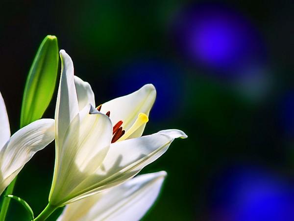 ユリの花言葉が冠婚葬祭にぴったりな7つの理由