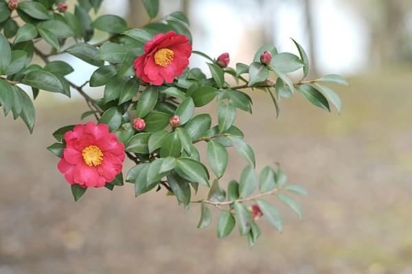 山茶花の花言葉があなたの恋を応援してくれる7つの理由☆