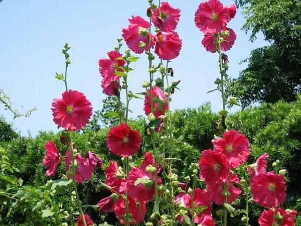 葵の花言葉が尊敬する人への贈り物にぴったりな7つの理由