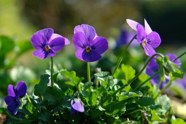 ビオラの花言葉が恋心を応援してくれる7つの理由