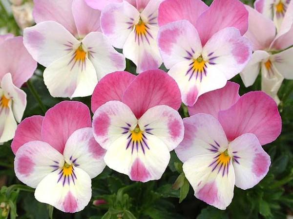 ビオラの花言葉が秘めた片思いを応援してくれる7つの理由