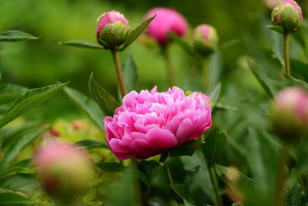 芍薬の花言葉を女性に贈ると超喜ばれる7つの理由☆