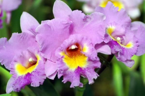 カトレアの花言葉が正装の飾りにぴったりな7つの理由