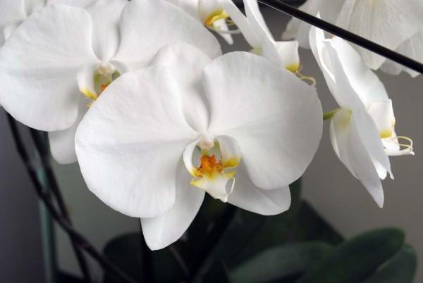 【胡蝶蘭の育て方のコツ】賢い花後の処理、7つのポイント