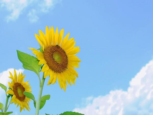 ひまわりの花言葉を使って大好きな人に気持ちを伝える7つの方法