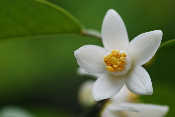 ゆずの花が中々咲かないときにお勧めの7つの対処法