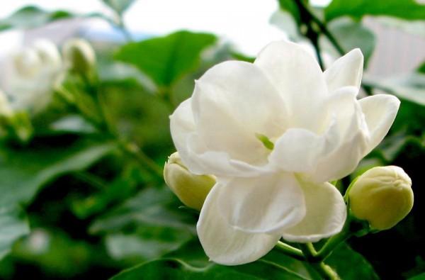 茉莉花の花言葉と、ぴったりな贈り物の選び方、7例!