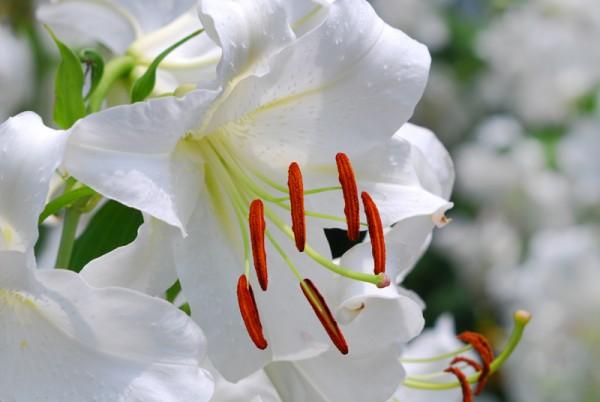 長く花を楽しむためのカサブランカの育て方、7つのコツ☆