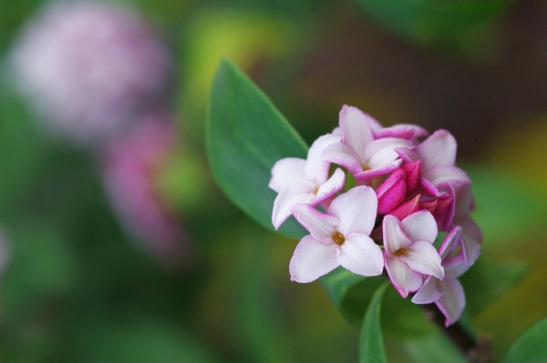 沈丁花の花言葉を使って、素敵な贈り物を選ぶ7つのポイント☆