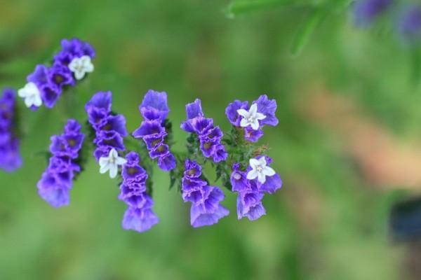 スターチスの花言葉を添えて告白すると恋が実る7つの理由