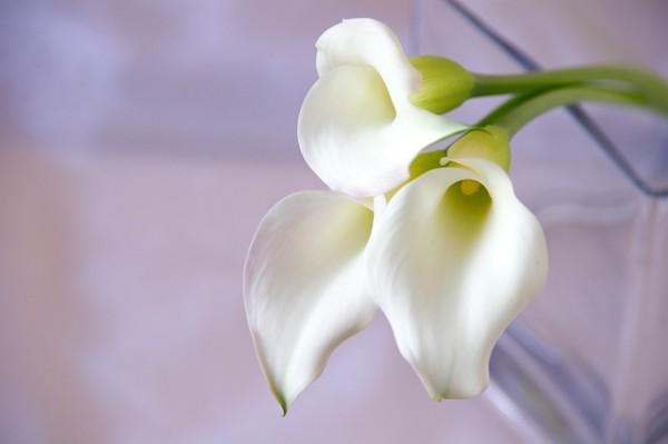 カラーの花言葉が女性の魅了をUPさせる7つの理由
