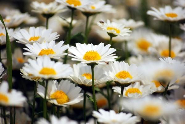 マーガレットの花言葉を使って、好きな人に思いを伝える7つの方法