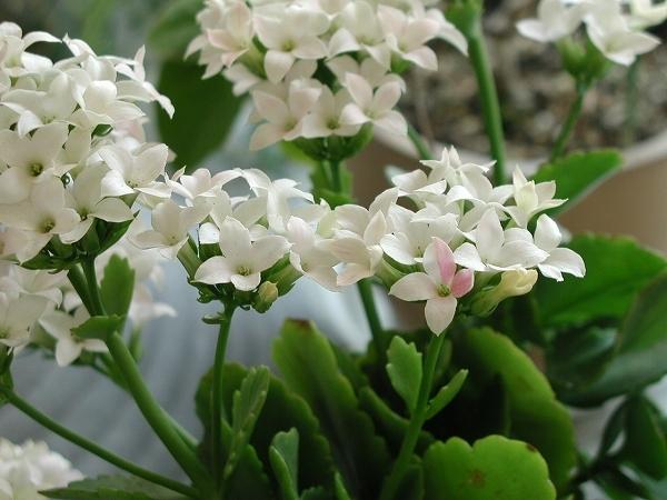 カランコエの花言葉を贈ると心から元気になる7つの理由