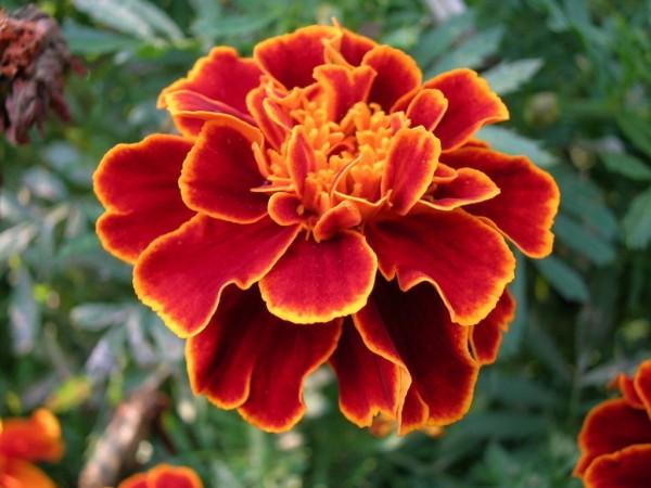 マリーゴールドの花言葉が贈り物に合わない5つの理由