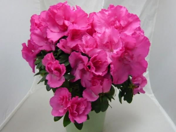 アザレアの花言葉が新婚のお家にぴったりな7つの理由